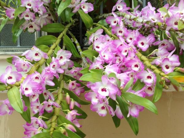12 tipos de orquídeas - Orquídea Dendrobium
