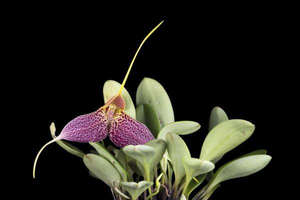 12 tipos de orquídeas - Orquídea Masdevallia