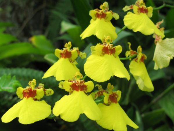 12 tipos de orquídeas - Orquídea Oncidium