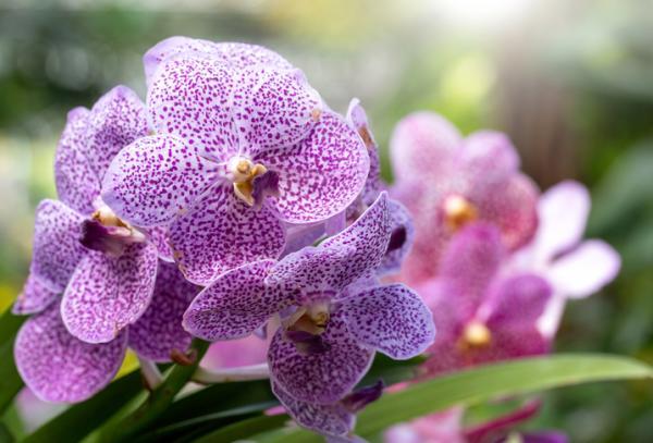 12 tipos de orquídeas - Orquídea Phalaenopsis