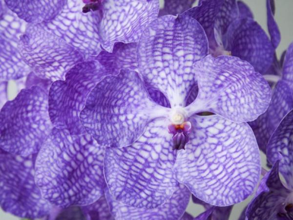 12 tipos de orquídeas - Orquídea Vanda
