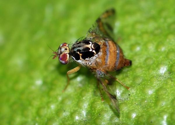 Cómo eliminar la mosca de la fruta - Cómo eliminar la mosca de la fruta de los árboles frutales