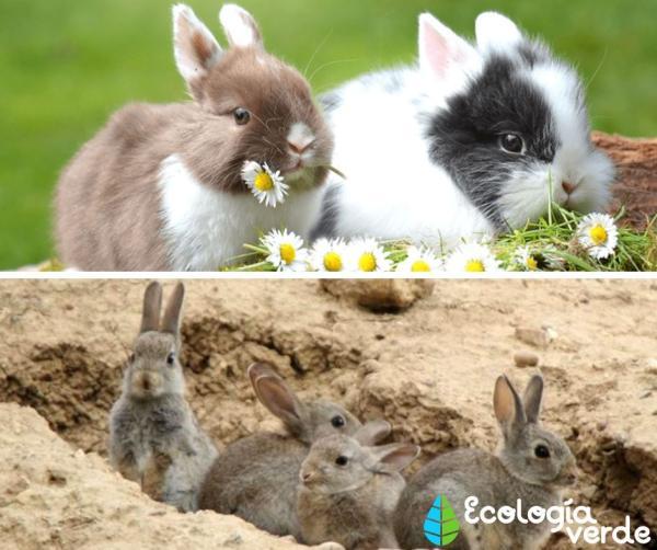 Diferencia entre liebre y conejo - Conejo: características