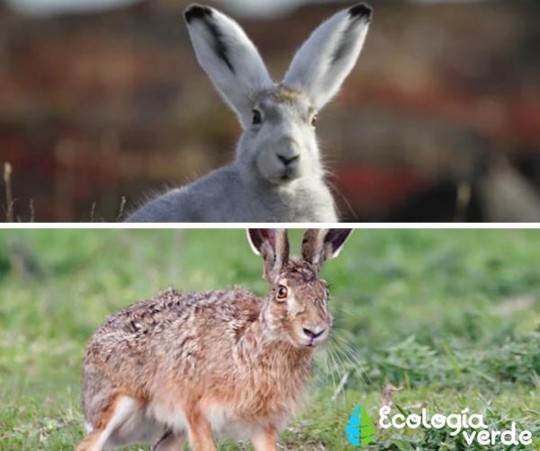 Diferencia entre liebre y conejo - Liebre: características