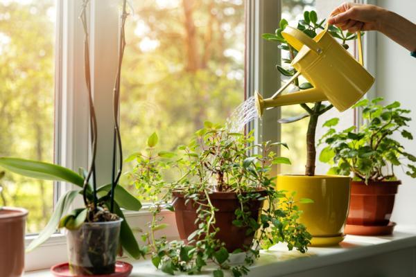 Cómo cuidar las plantas de interior - Cómo regar las plantas de interior