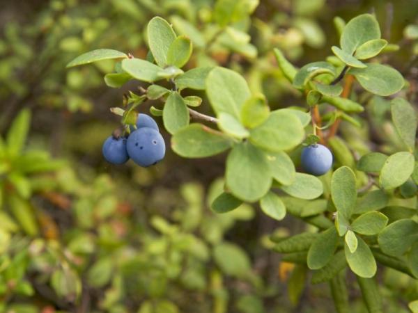 Plantas medicinales para la diabetes - Hojas de arándano para la diabetes