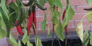 Cómo plantar pimientos