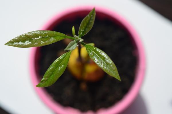 Cómo germinar un aguacate - Cómo cuidar un árbol de aguacate o palta