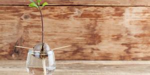 Cómo germinar un aguacate