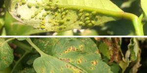 Plagas y enfermedades del limonero