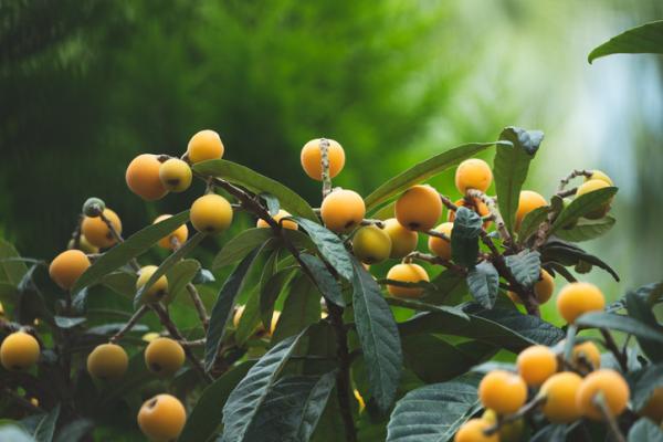 Árbol del níspero: cuidados - Características del árbol níspero