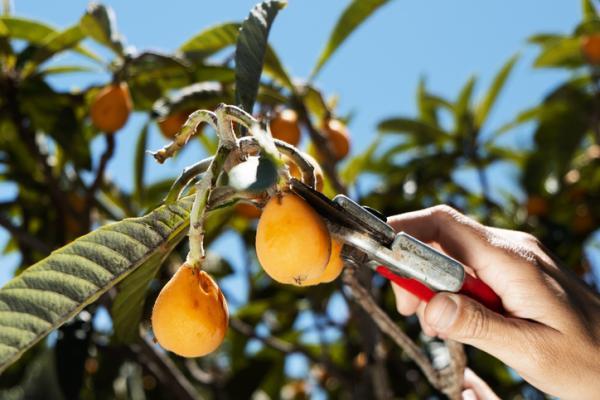 Árbol del níspero: cuidados - Poda del árbol níspero