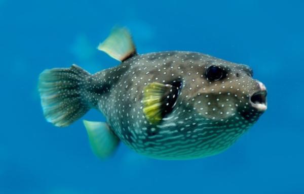 Los animales marinos más peligrosos del mundo - Pez globo