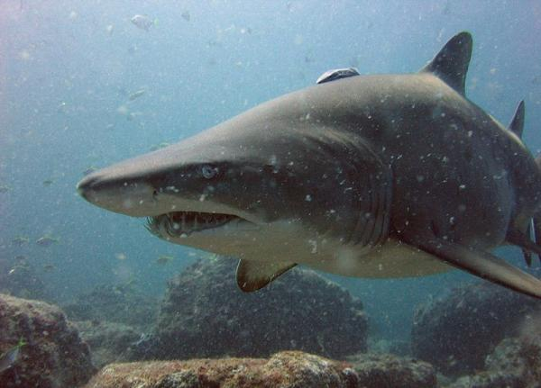 The most dangerous marine animals of the world - Shark bull