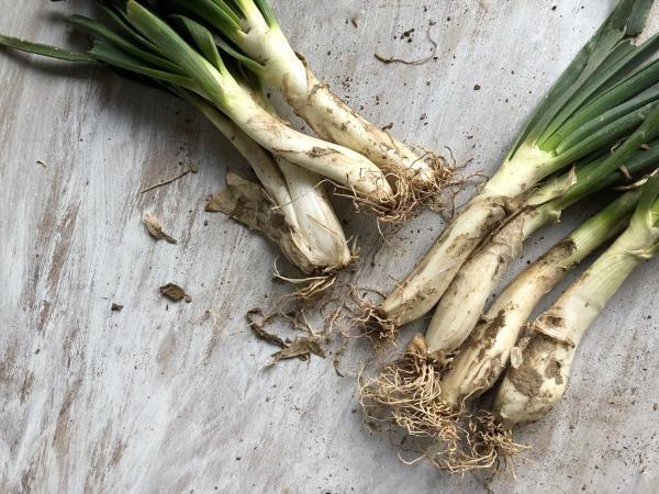 Tipos de cebolla - Calçot