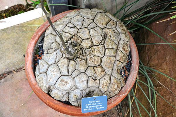 Plantas en peligro de extinción en México - Cocolmeca o Dioscorea mexicana