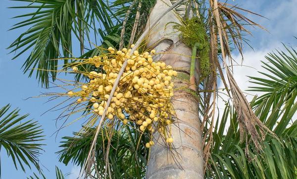 Plantas en peligro de extinción en México - Gaussia gomez-pompae