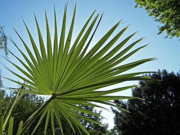 Plantas en peligro de extinción en México - Palma de Guadalupe o Brahea edulis