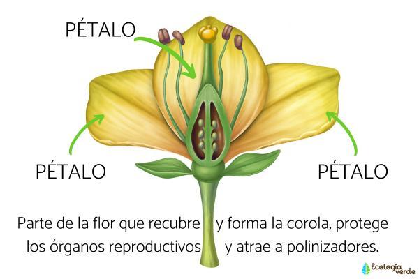 Qué son los pétalos y su función - Qué son los pétalos de las flores y sus características