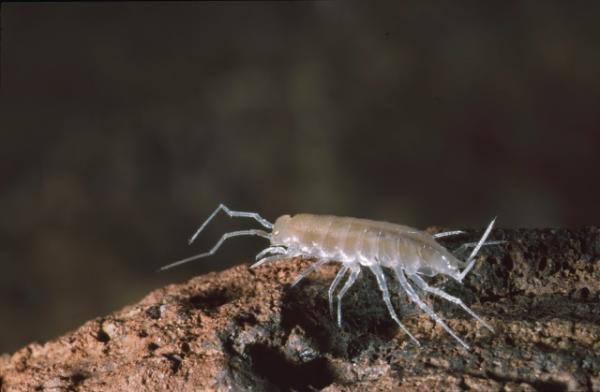 Animales en peligro de extinción en Canarias - Halophiloscia canariensis