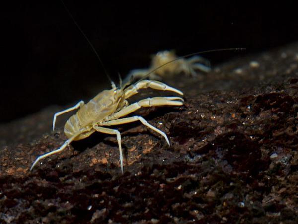 Animales en peligro de extinción en Canarias - Jameíto o jameo (Munidopsis polymorpha)