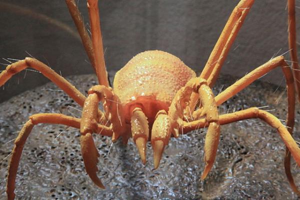 Animales en peligro de extinción en Canarias - Opilión cavernícola majorero (Maiorerus randoi)
