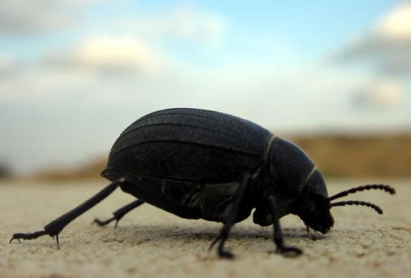 Animales en peligro de extinción en Canarias - Pimelia de las arenas o bombón (Pimelia granulicollis)