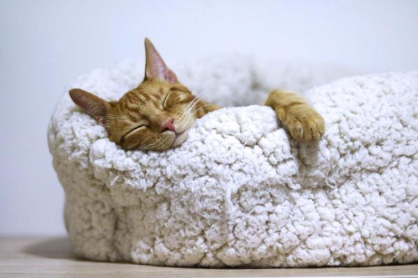 Tipos de felinos, sus características y ejemplos - Gato doméstico