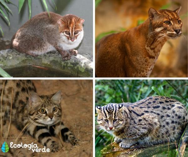 Tipos de felinos, sus características y ejemplos - Gatos salvajes
