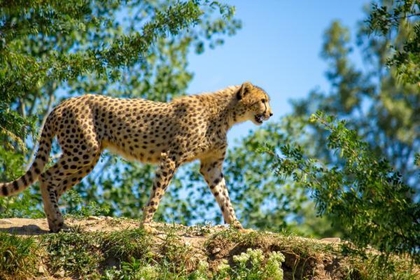 Tipos de felinos, sus características y ejemplos - Guepardo