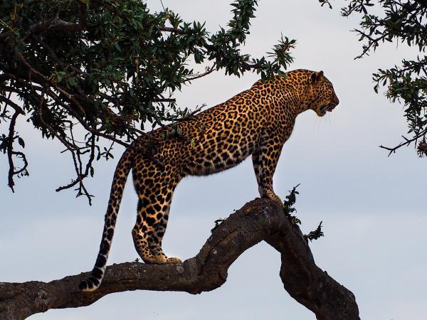 Tipos de felinos, sus características y ejemplos - Jaguar