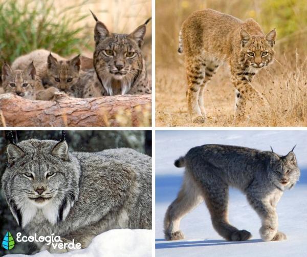 Tipos de felinos, sus características y ejemplos - Linces