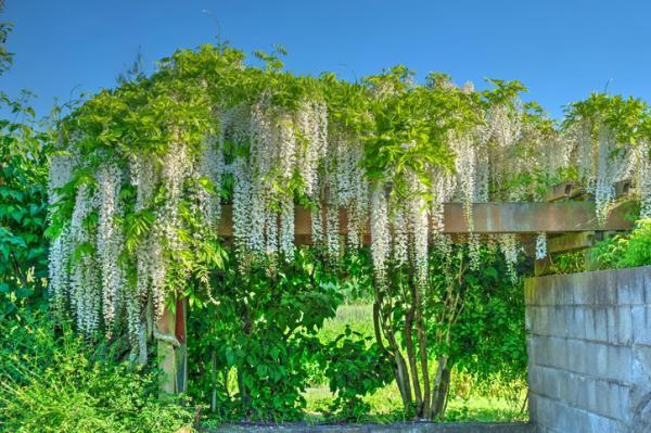 Glicina o wisteria: características y cuidados - Entutorado