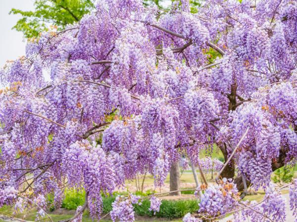 Glicina o wisteria: características y cuidados - Floración de la glicina