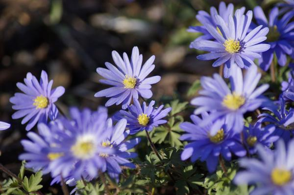 Tipos de margaritas - Margarita azul (Anemone blanda)