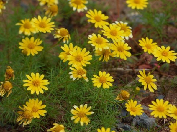 Tipos de margaritas - Margarita Dahlberg (Thymophylla tenuiloba)
