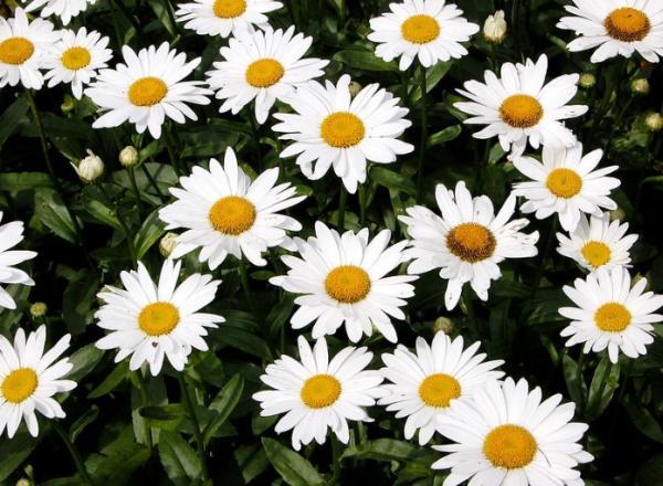 Tipos de margaritas - Margarita Shasta (Leucanthemum Superbum)