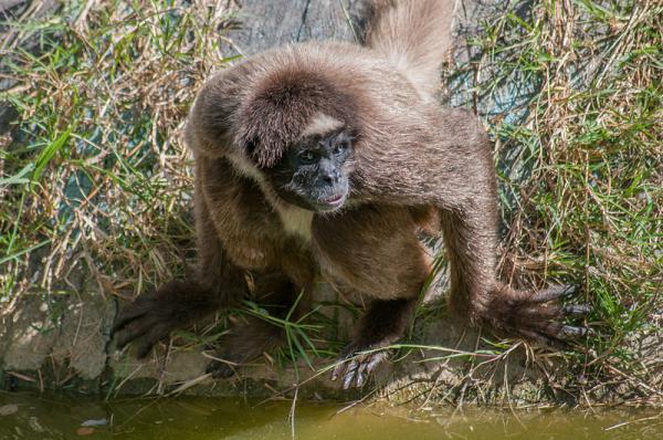 16 animales en peligro de extinción en Colombia - Mono araña o marimonda chocoana (Ateles hybridus)