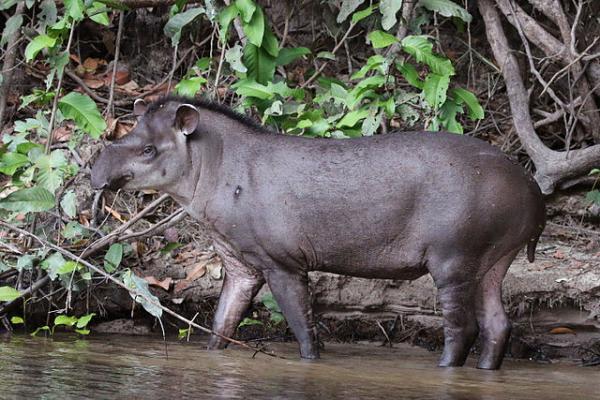 16 animales en peligro de extinción en Colombia - Tapir centroamericano (Tapirus bairdii)