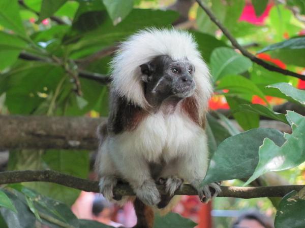 16 animales en peligro de extinción en Colombia - Tití cabeciblanco o tití cabeza blanca (Saguinus oedipus)
