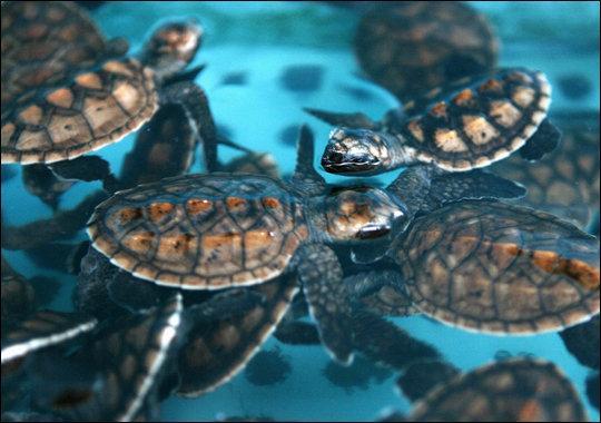 16 animales en peligro de extinción en Colombia - Tortugas marinas