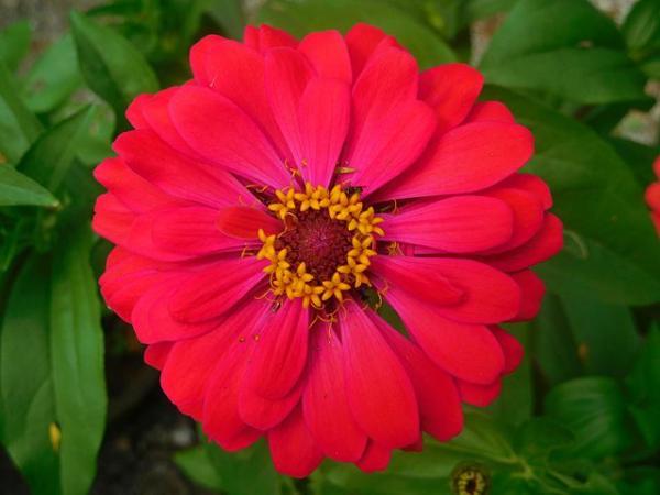 Tipos de margaritas - Zinia o  rosa mística (Zinnia elegans)