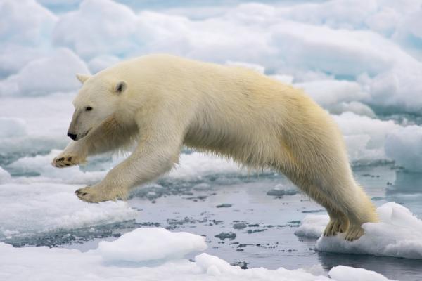 ¿El oso polar está en peligro de extinción? - Cómo podemos evitar la extinción del oso polar