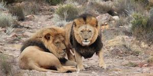 ¿Los leones están en peligro de extinción?