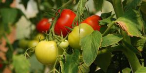 Cómo combatir las plagas del tomate ecológicamente