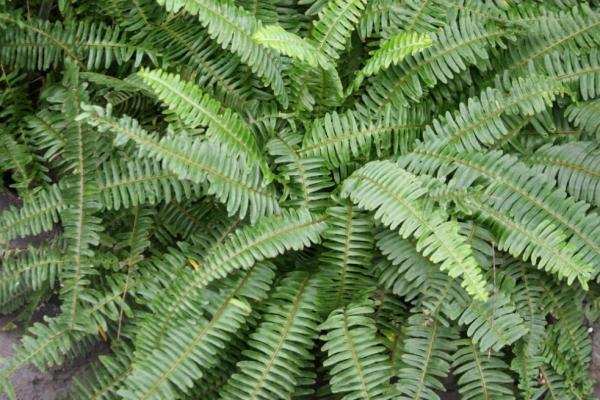 Plantas de hojas grandes - Nephrolepis
