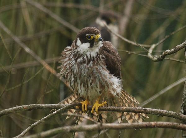 Animales con plumas - Alcotán europeo