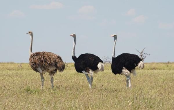 Animales con plumas - Avestruz