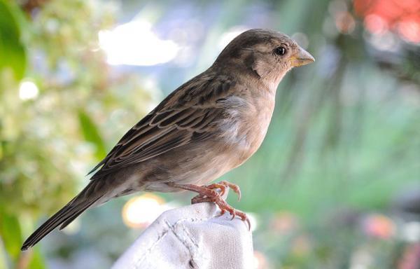 Animales con plumas - Gorrión común