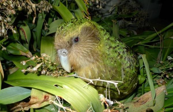 Animales con plumas - Kakapo